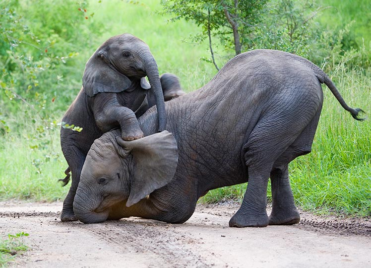 Two elephants playing at Kruger National Park