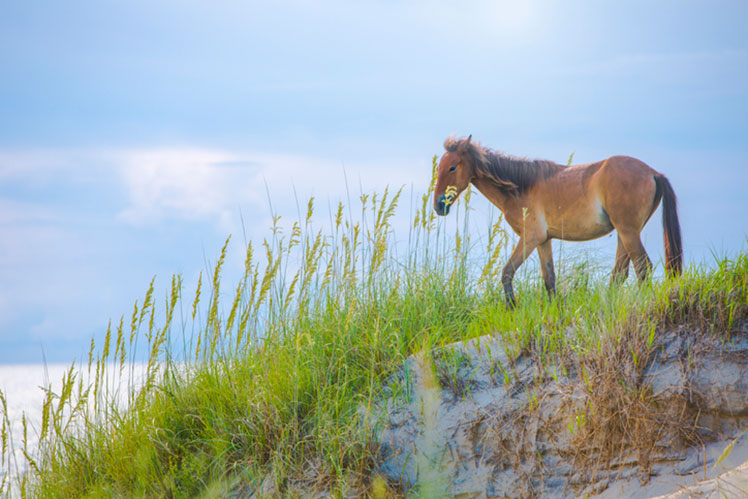 one horse on a dune along the Outer Banks, North Carolina