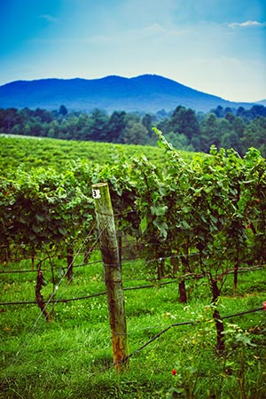 Surry county vineyard