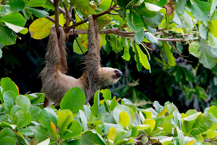 sloth hanging in a forest of Costa Rica