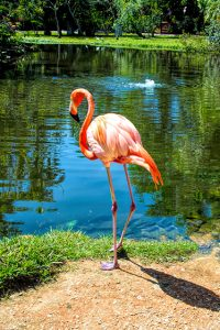 flamingo stands beside the water in a park
